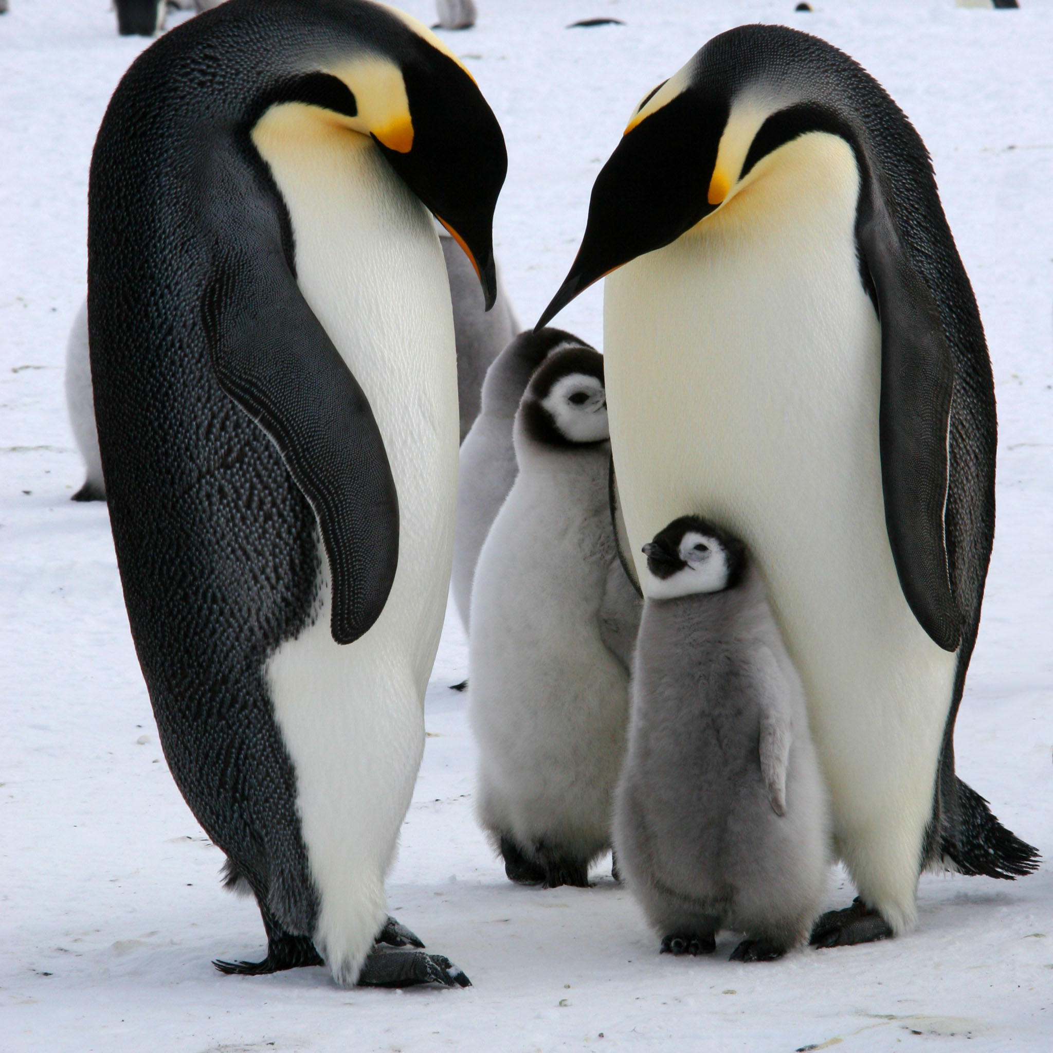 Emperor-Penguin-Family
