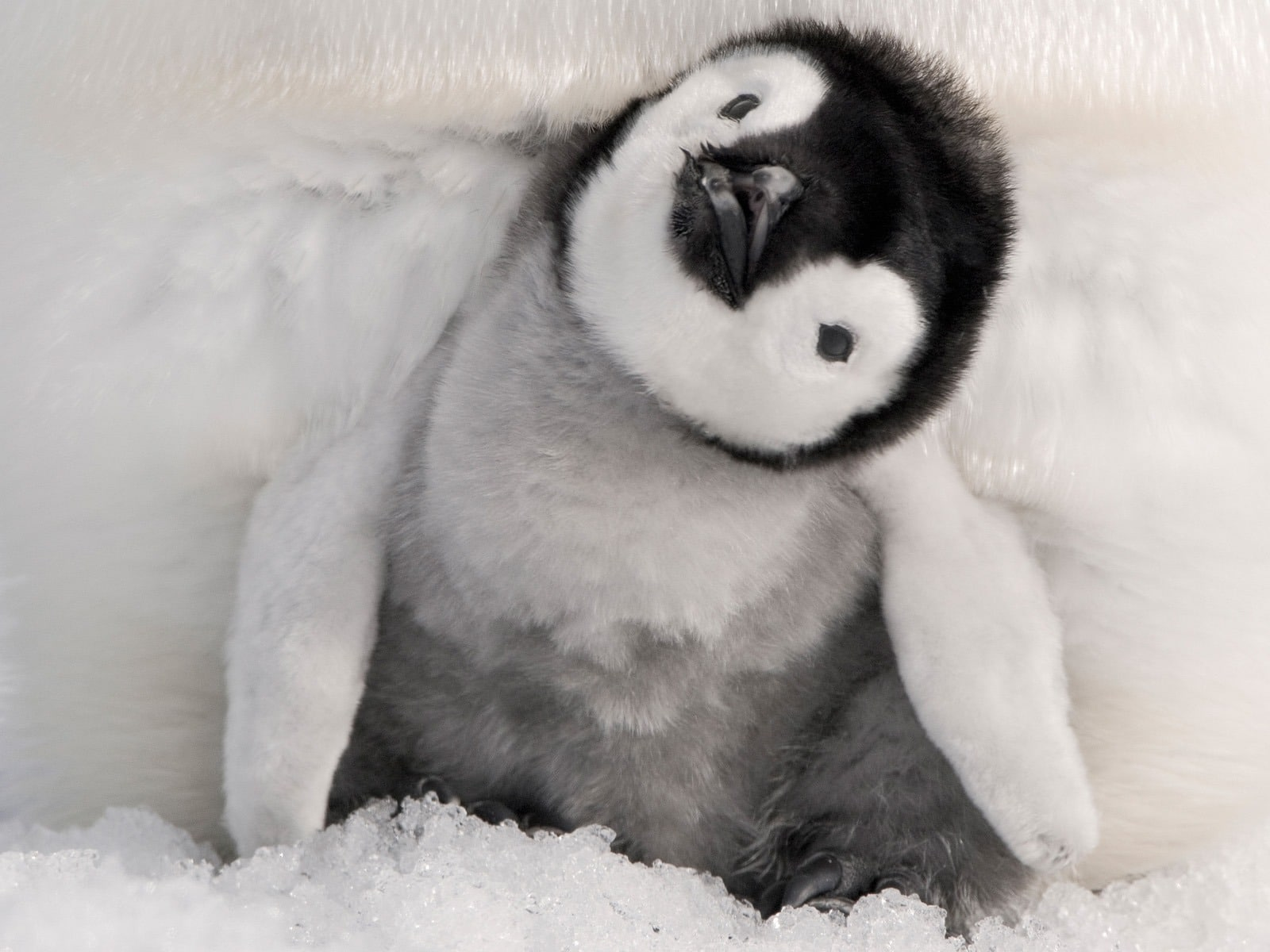 baby penguin 30 Cute and Beautiful Penguin Pictures