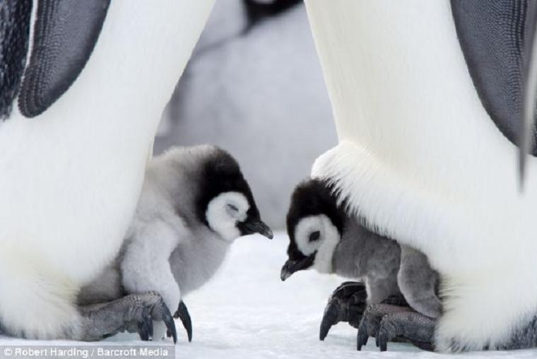 cute baby penguins