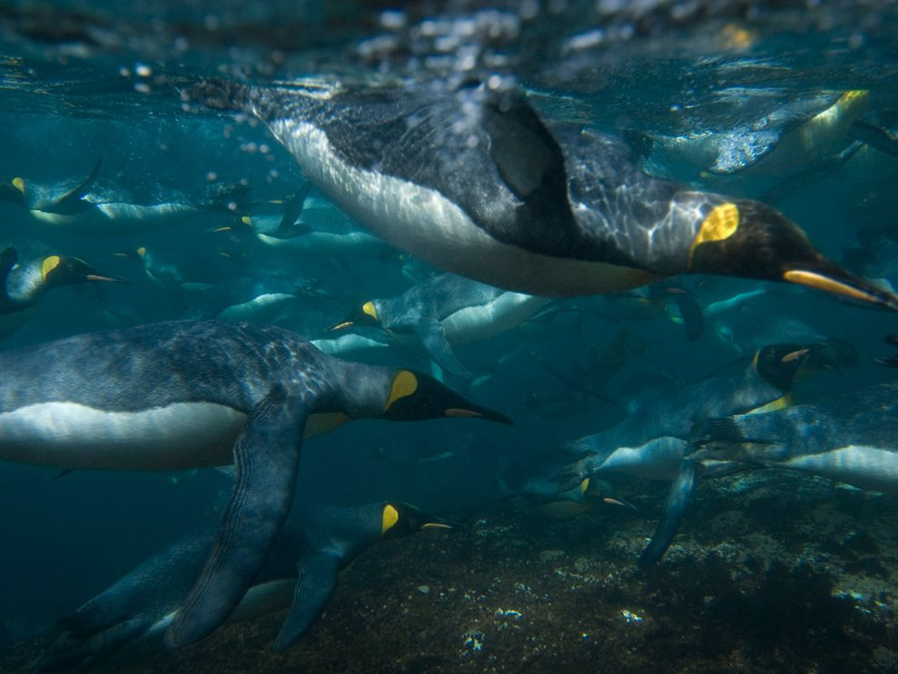 king-penguins-swimming