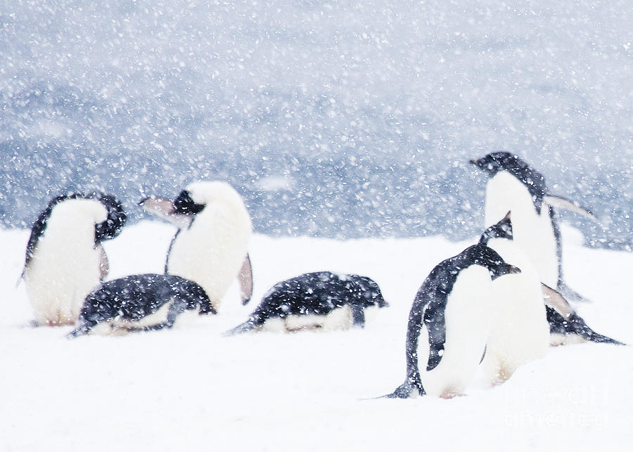 penguins-in-snow