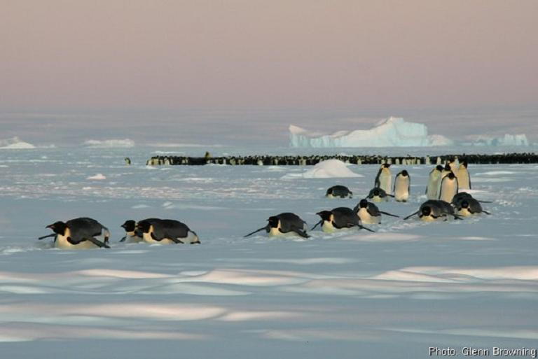 penguins sliding across ice