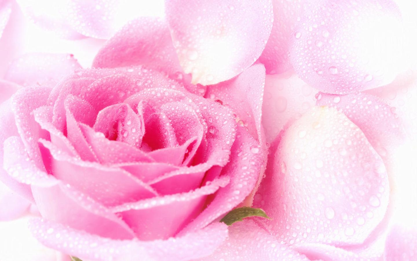 pink rose-wallpapers