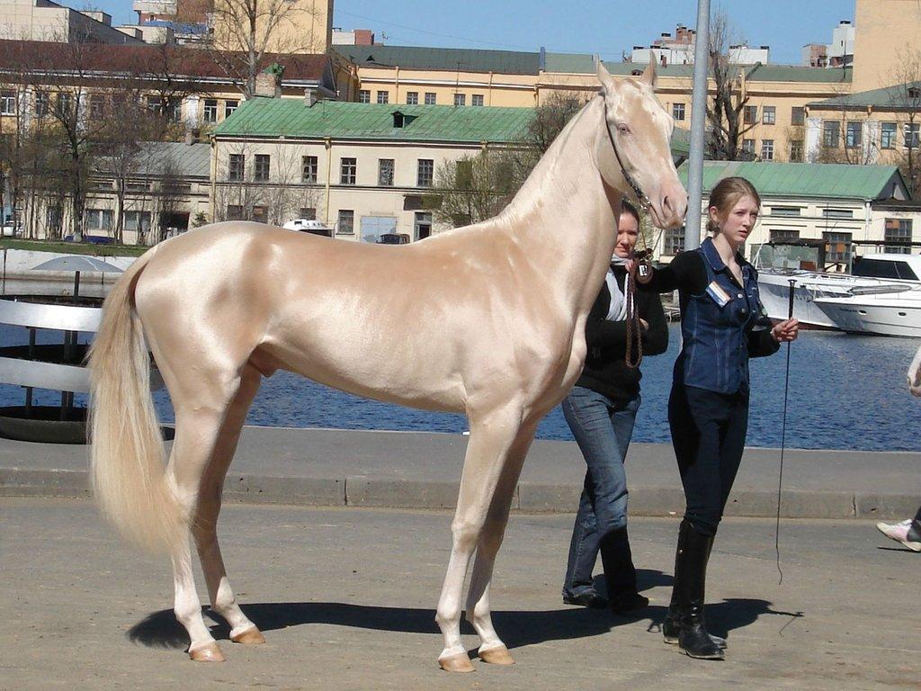 Akhal-Teke-golden-horse