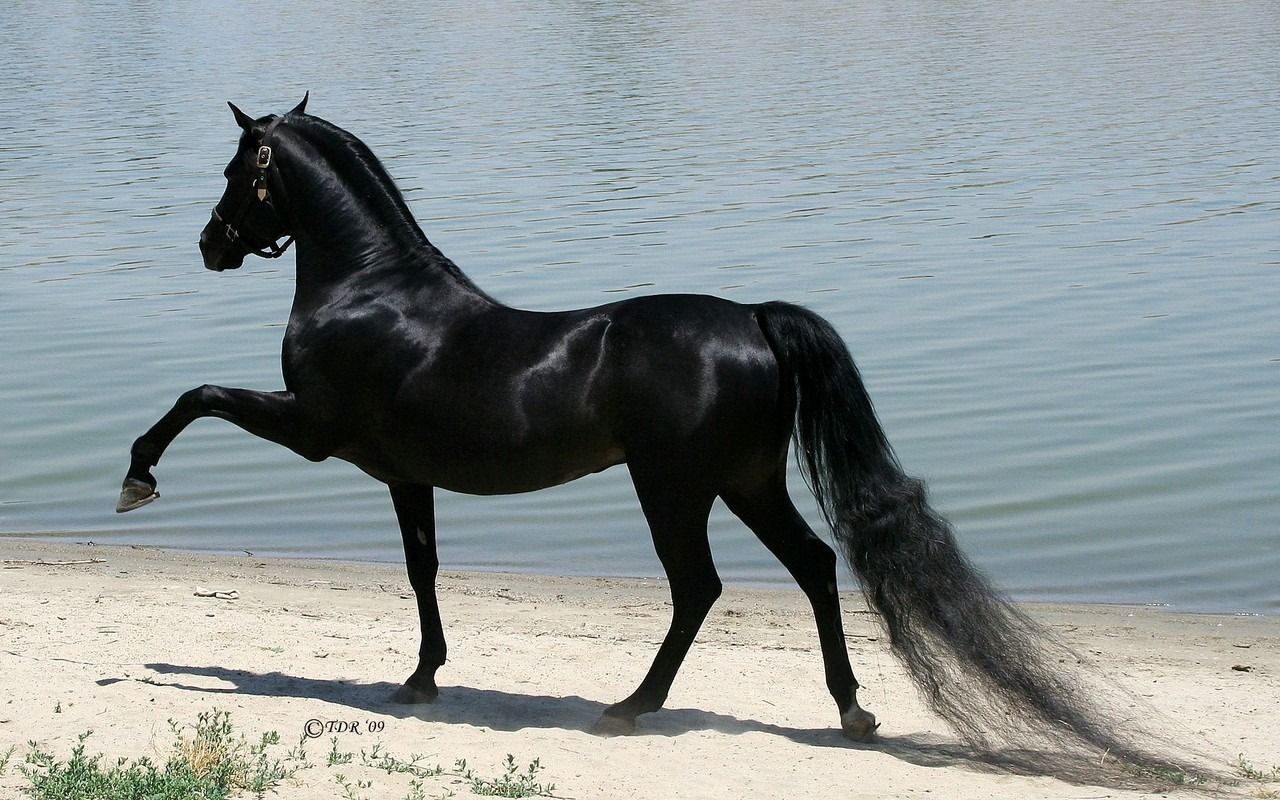 Beautiful black horses