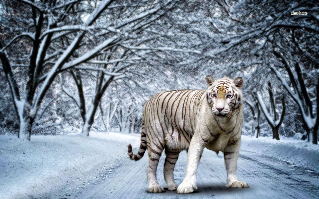 white-tiger wallpaper