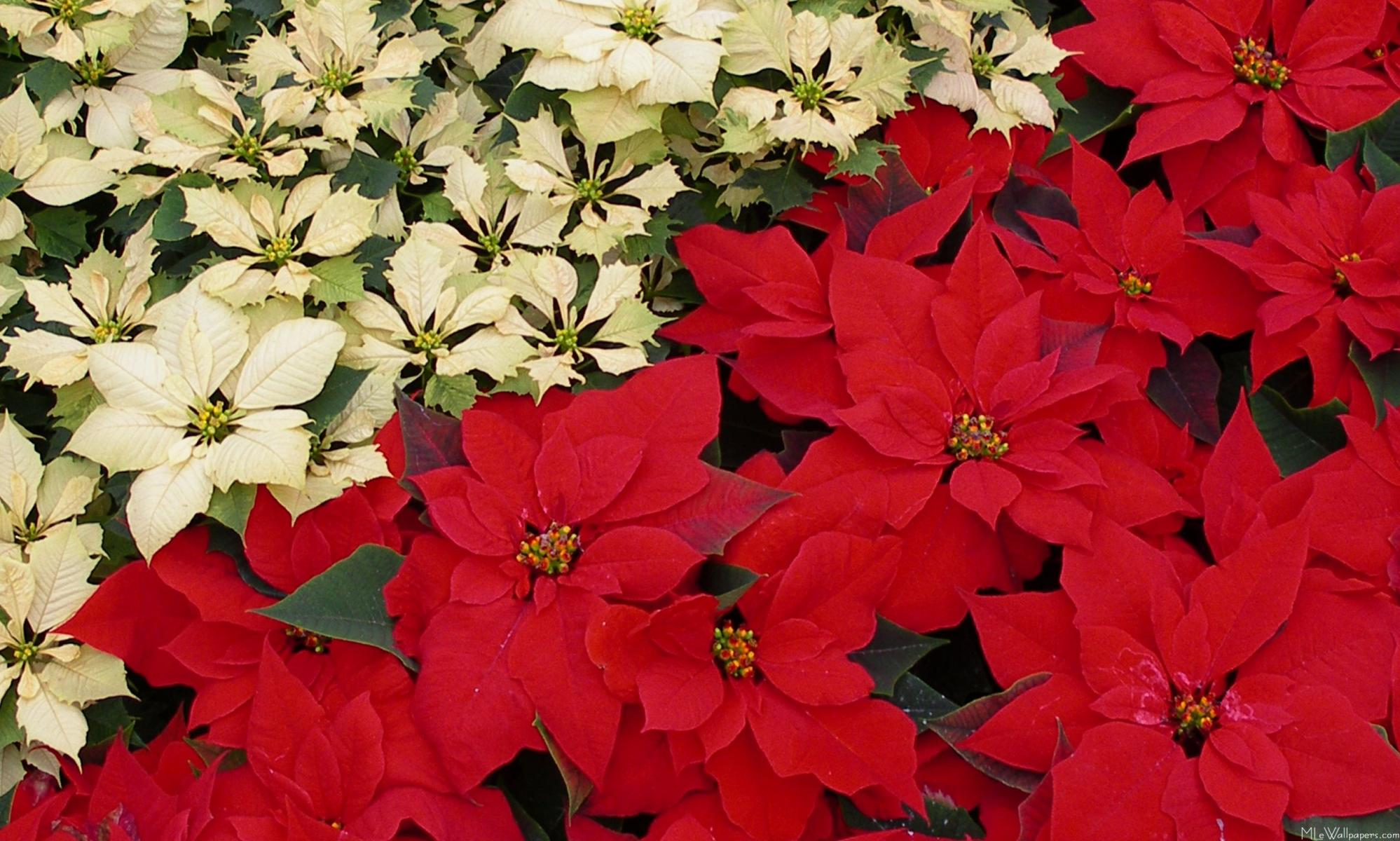 Poinsettia Pictures of flowers