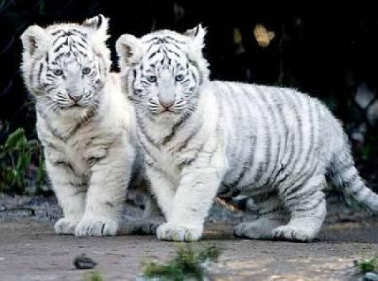 White bengal tigers babies