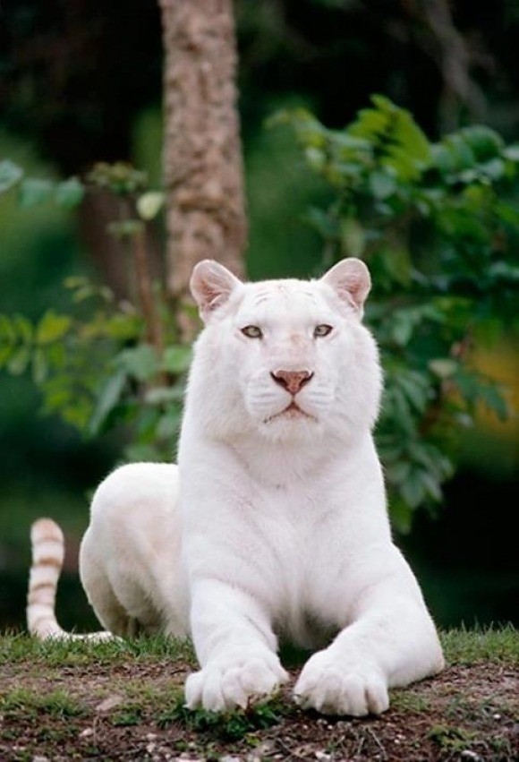 beautiful white-Bengal-Tigers