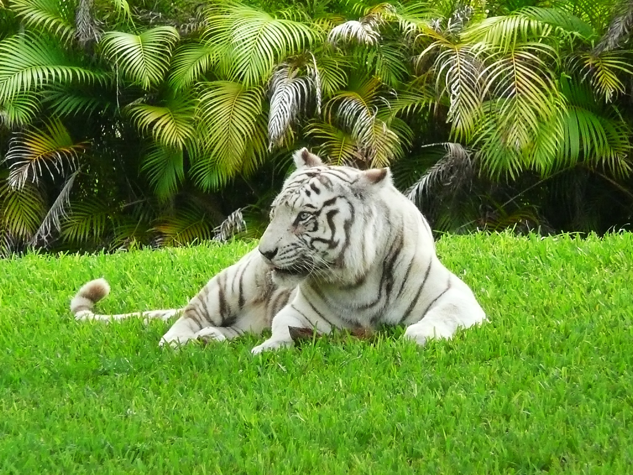 beautiful white bengal tigers