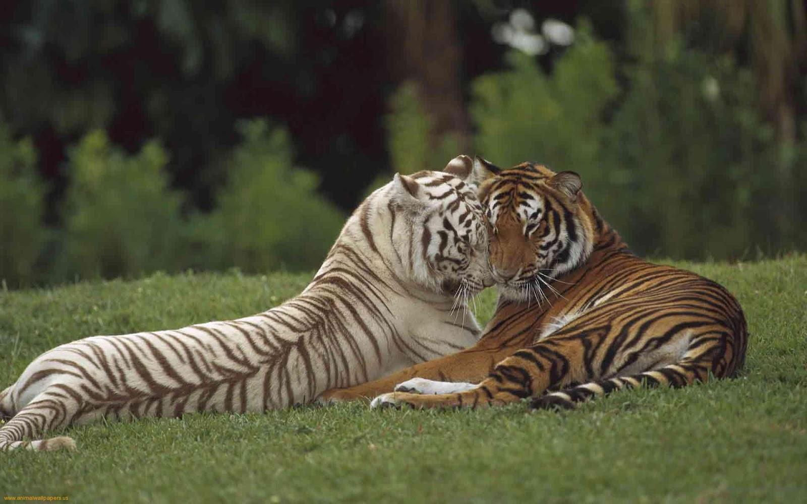 bengal tigers pics