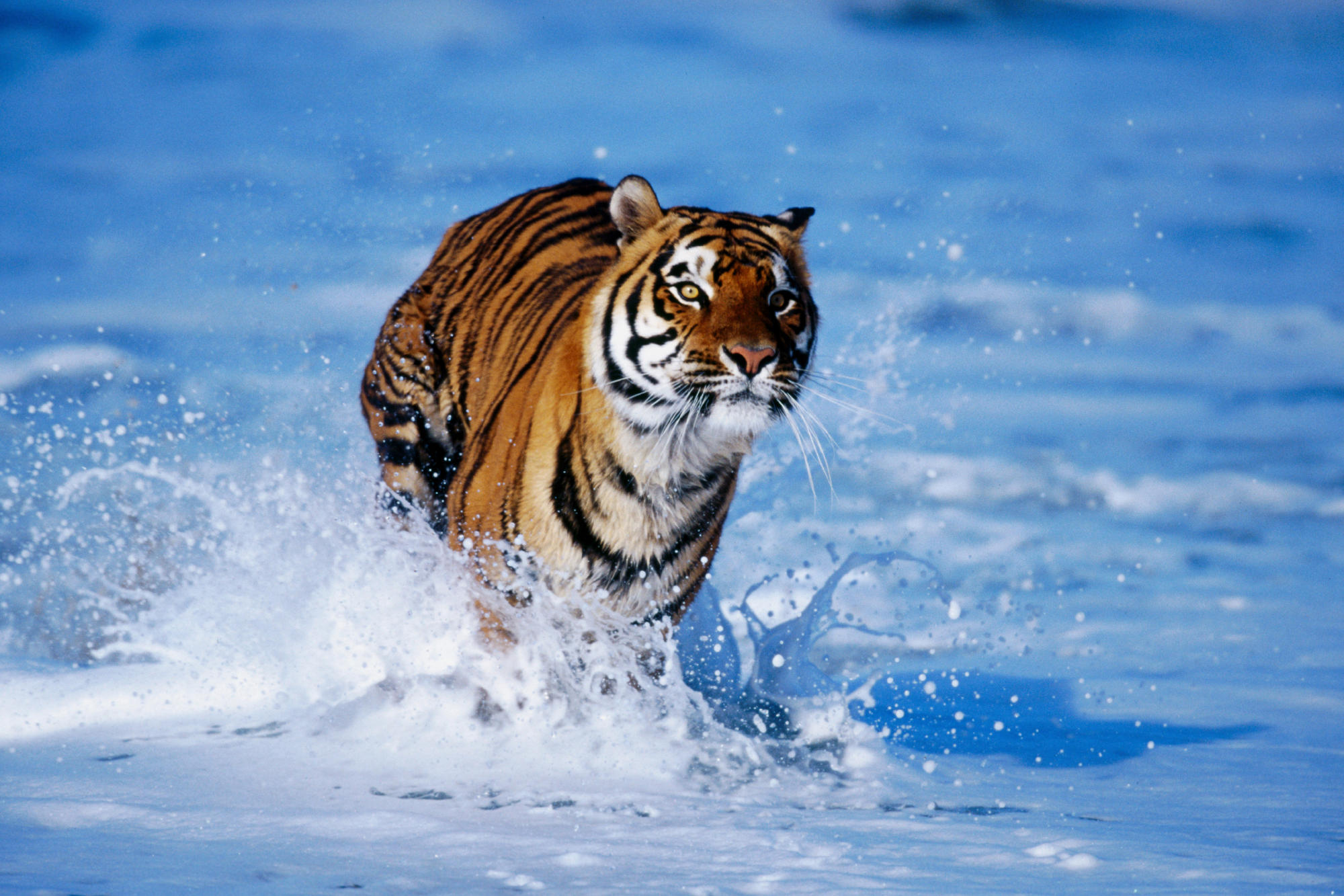bengal tigers pictures