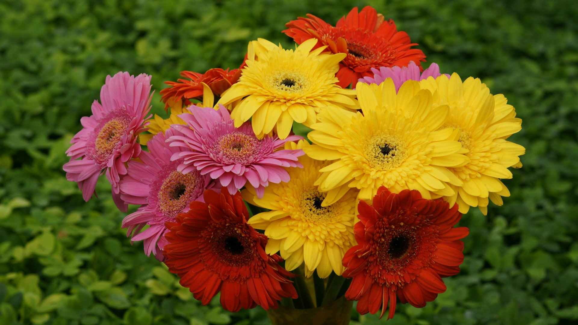 Gerbera Tropical flowers
