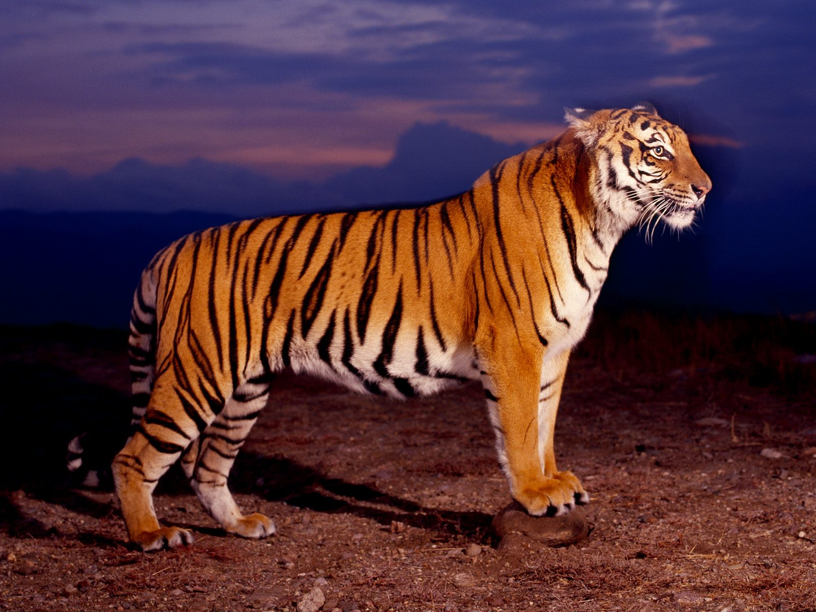 over the mountain edge bengal tigers