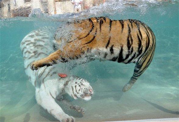 playing bengal tigers