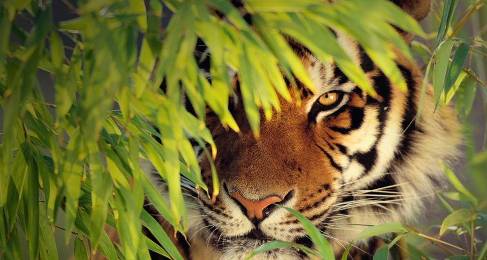 safari bengal tiger hiding