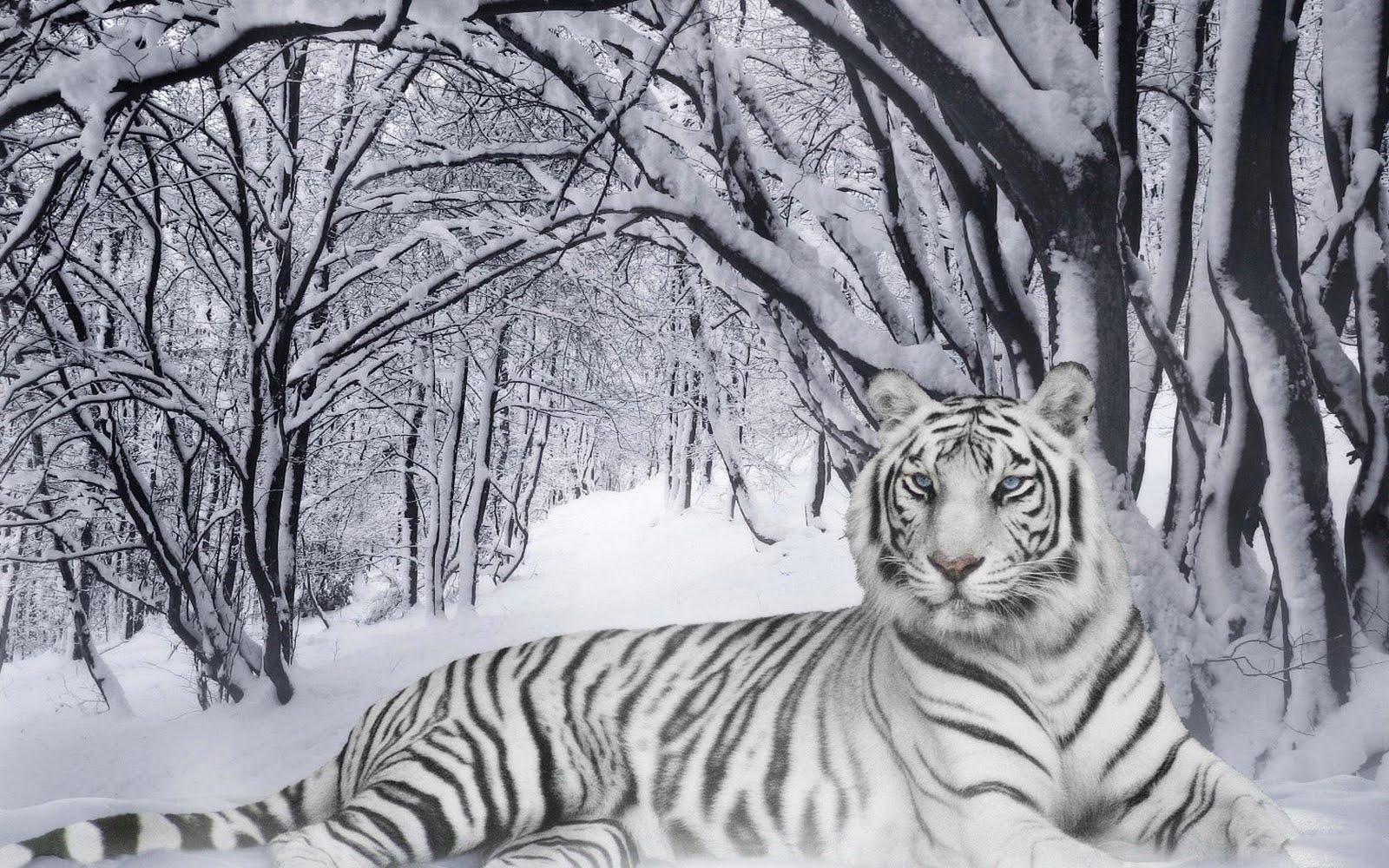 snow bengal tigers