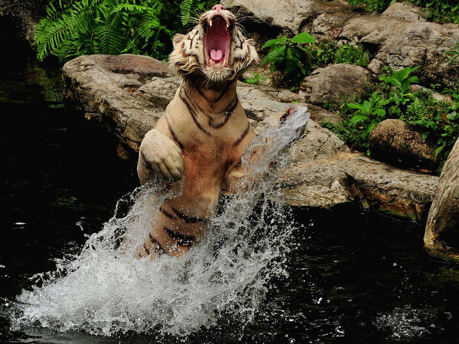 splashing Bengal tiger