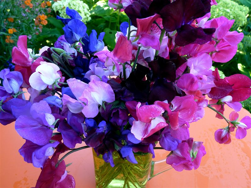 sweet peas pictures of flowers