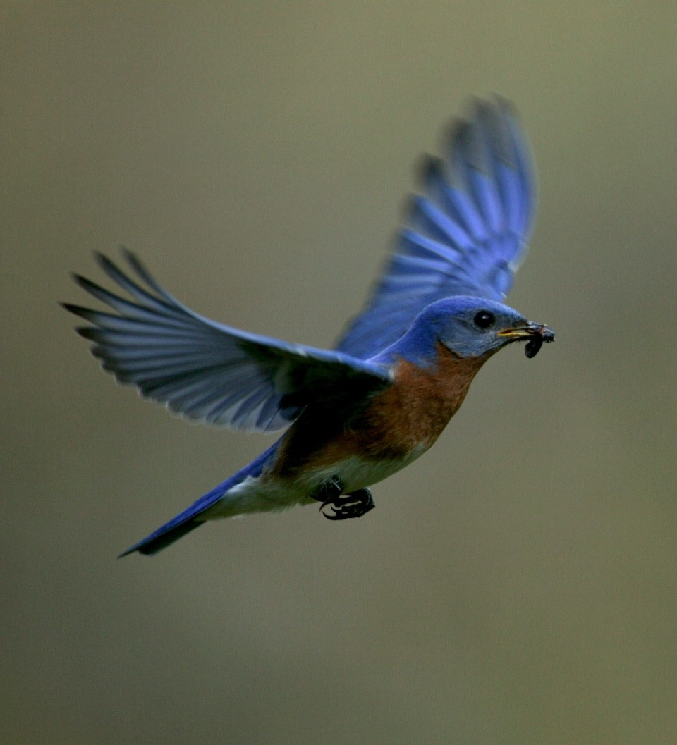 Male Eastern Bluebird Pictures