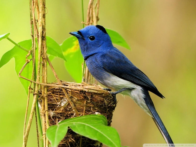 beautiful bluebird wallpaper