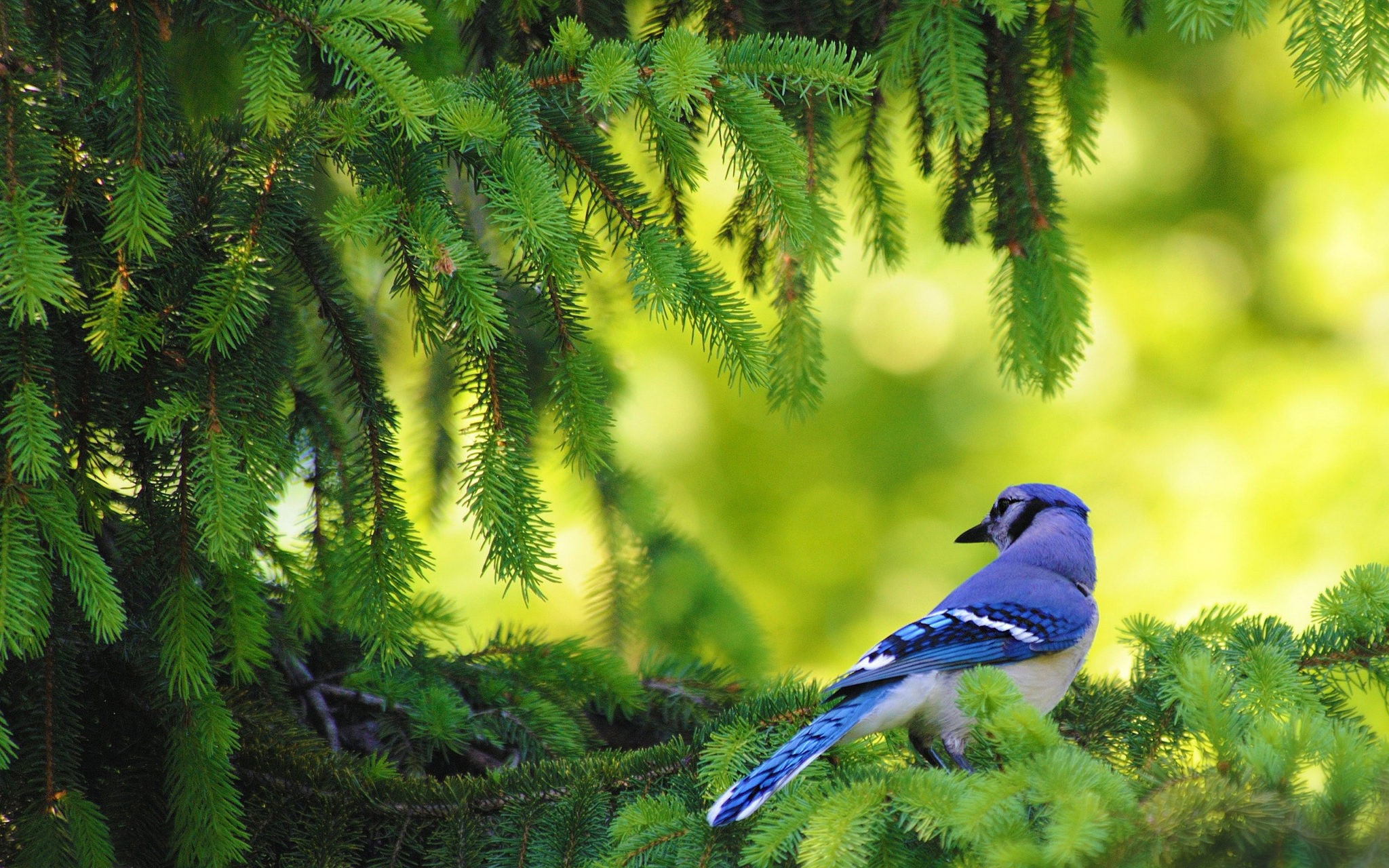 bluebird background