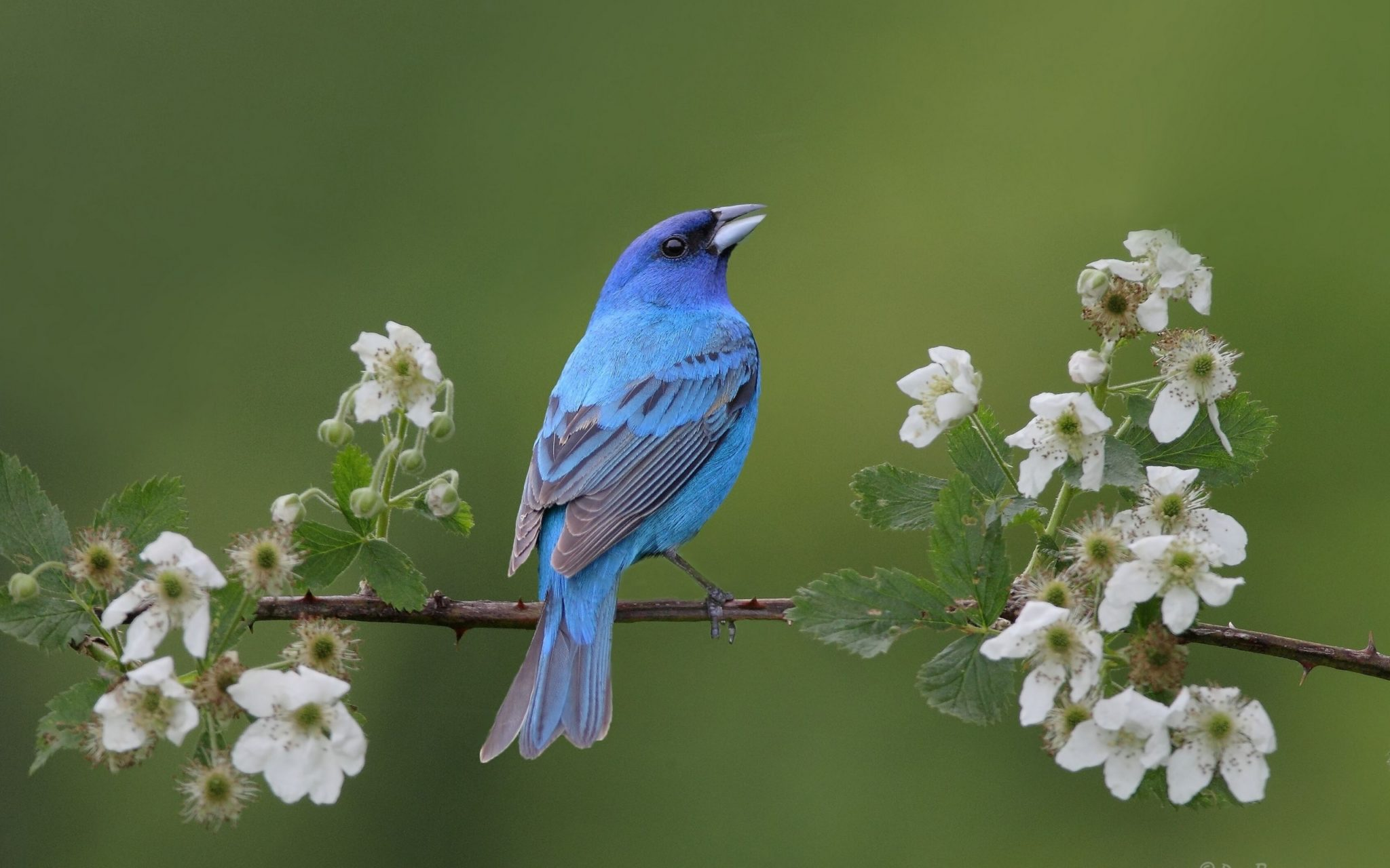bluebird spring blossoms