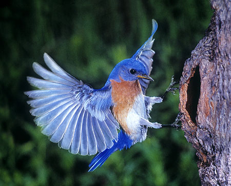 eastern bluebird pictures