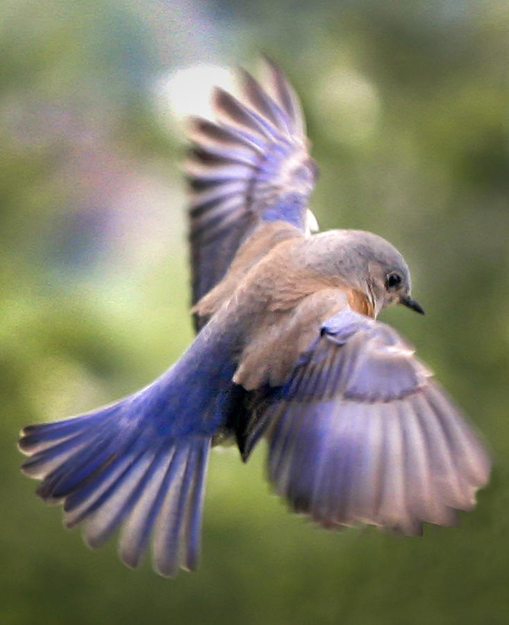Beautiful Collection of Bluebird Pictures