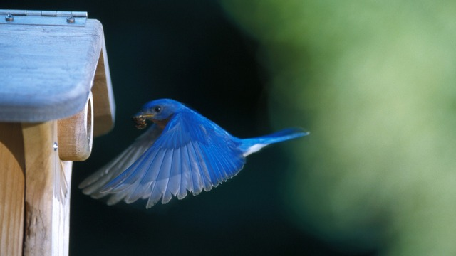 Flying Bluebird