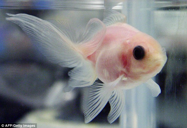 Transparent Goldfish