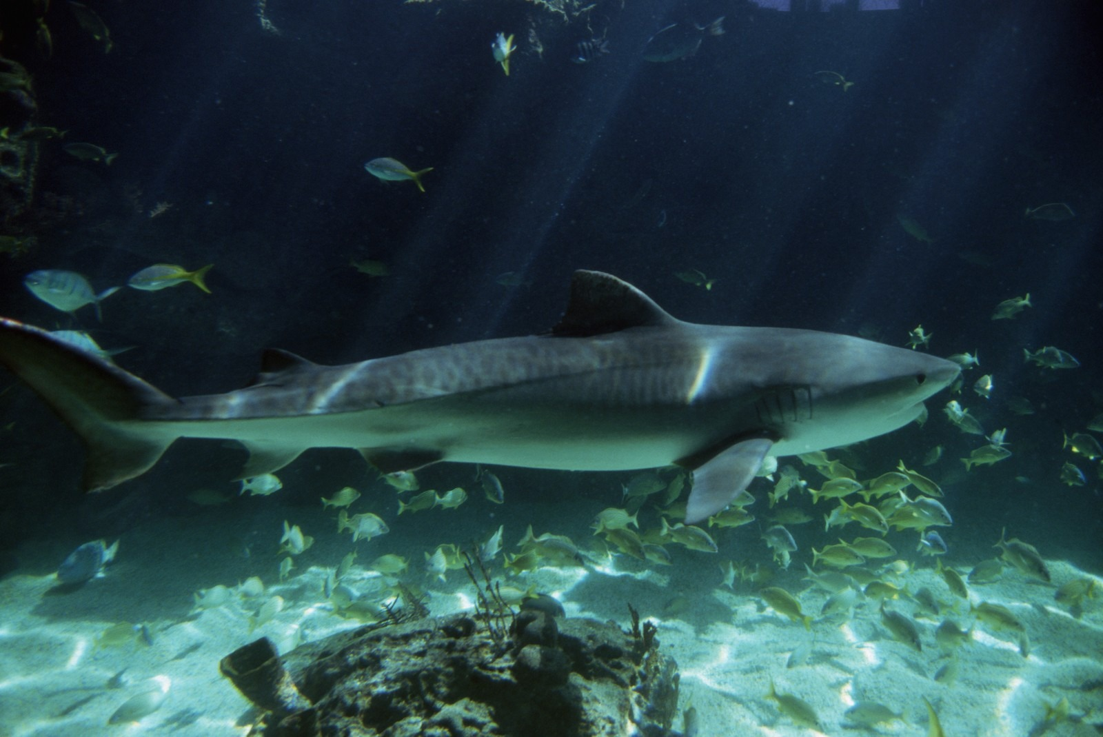 Majestic Tiger Shark Pictures