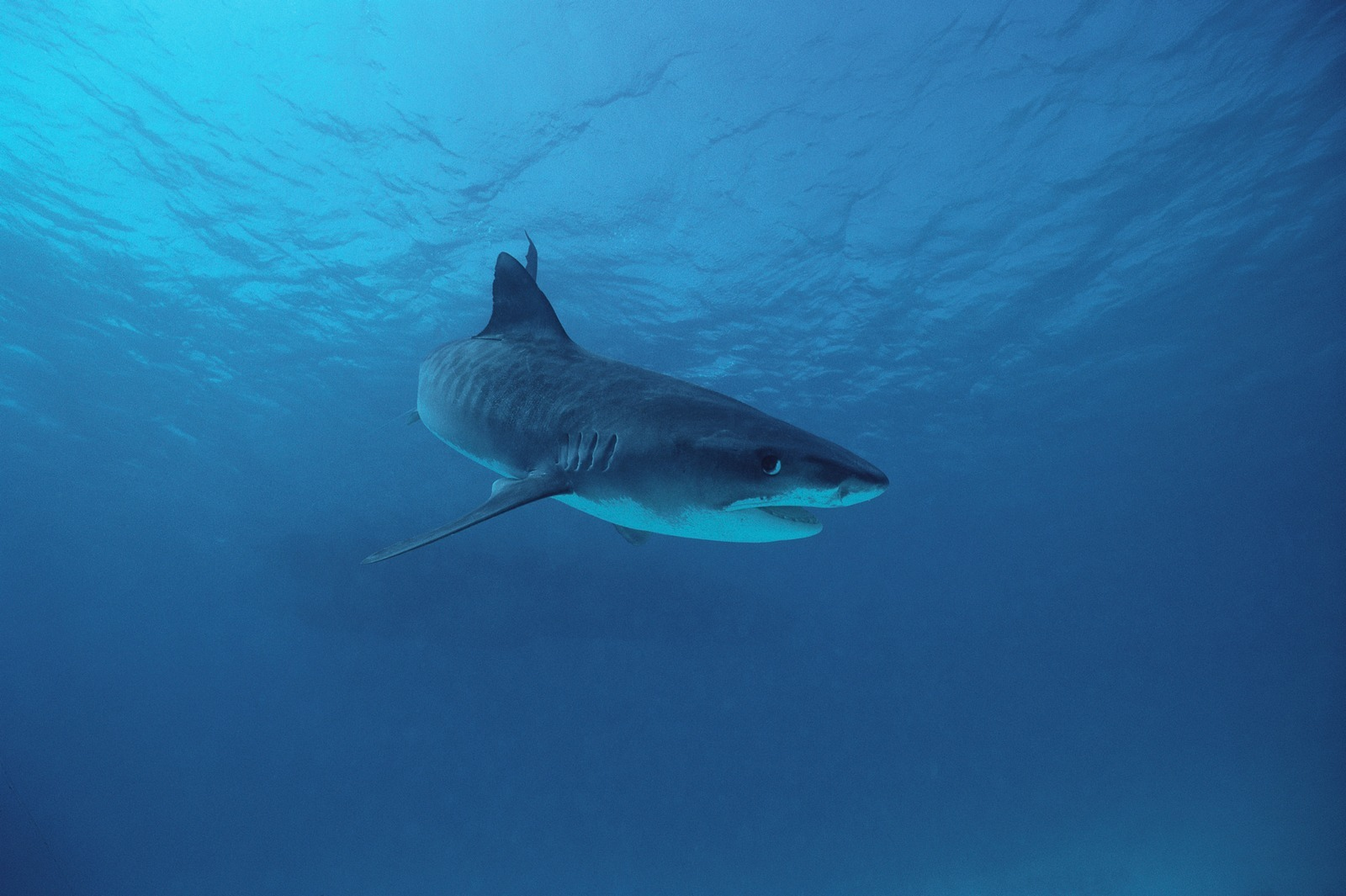 cool Tiger Shark pictures