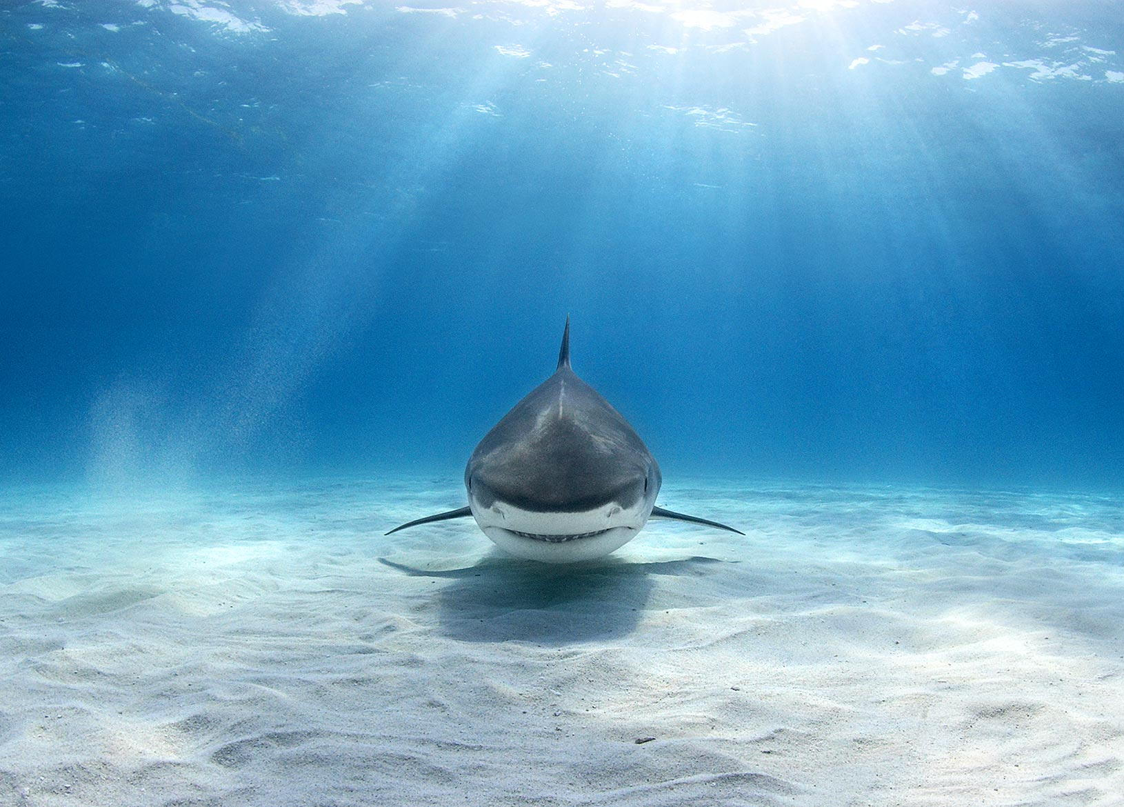 Tiger Shark Picture