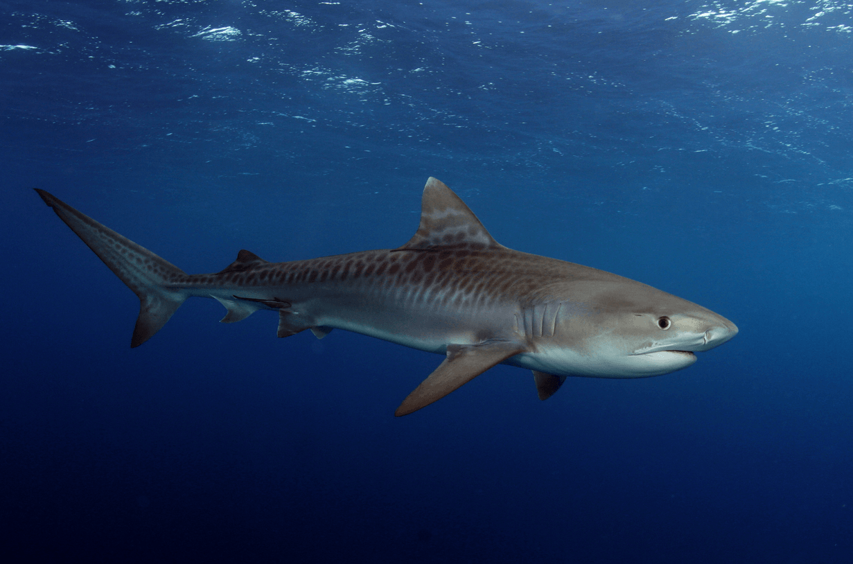 Tiger Shark Pictures HD