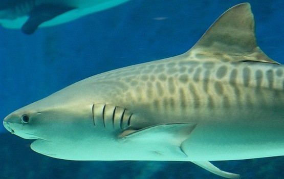 Tiger Sharks Wallpaper hd