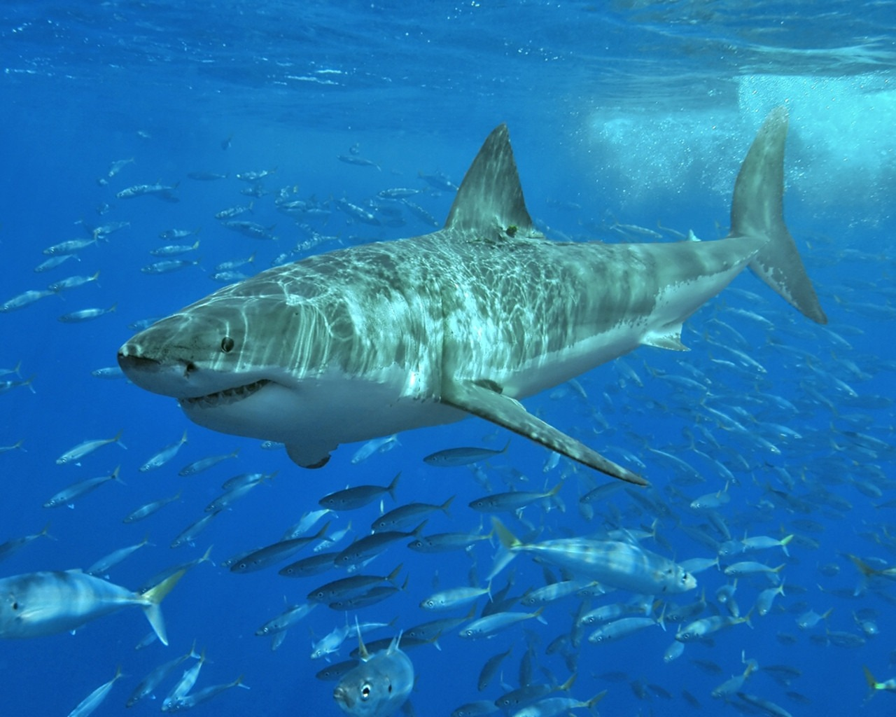 Tiger Sharks Pictures Gam