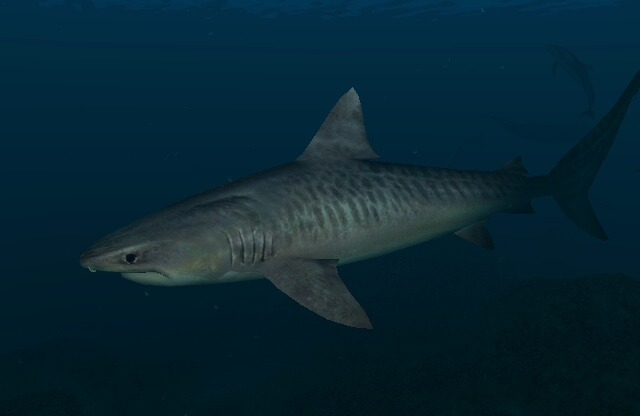 Tiger shark in ocean