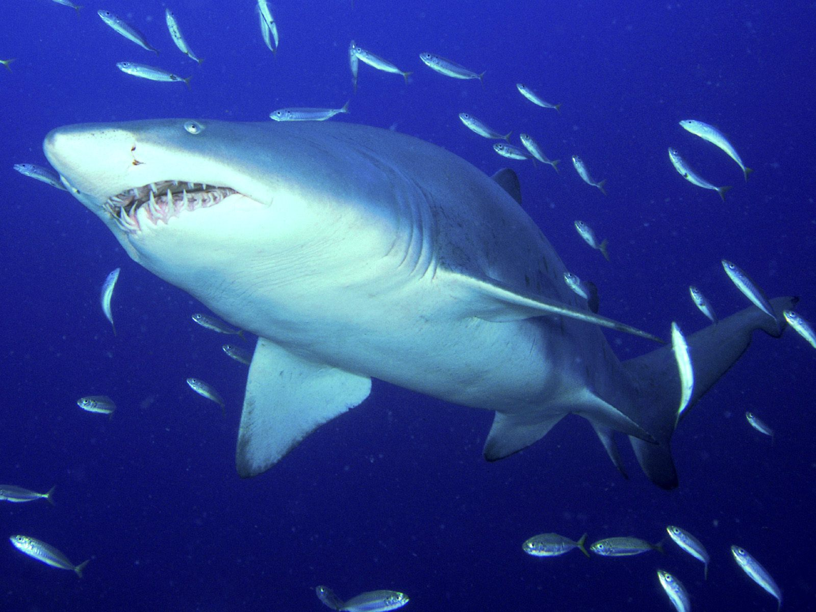 hd tiger shark wallpaper