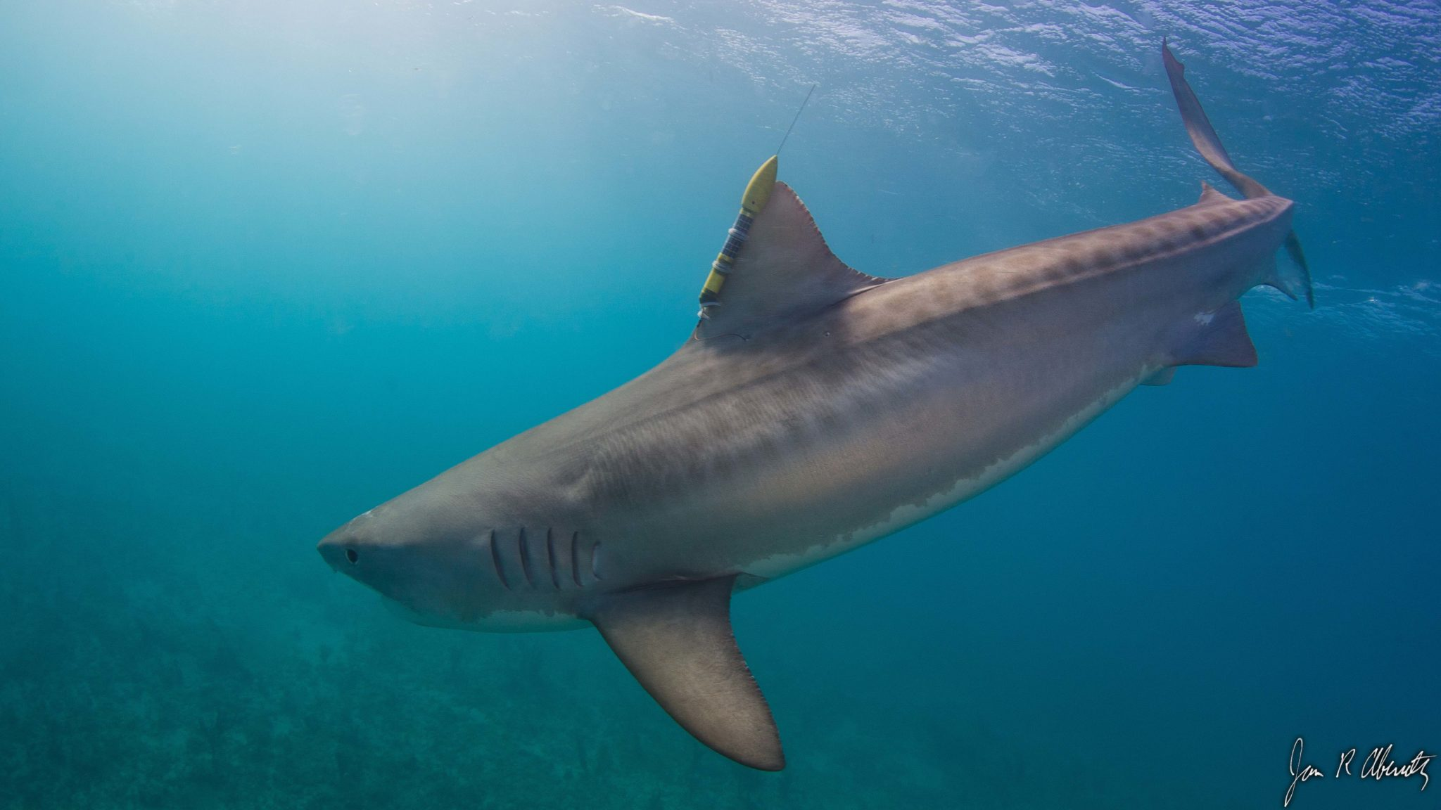 tiger shark picture hd