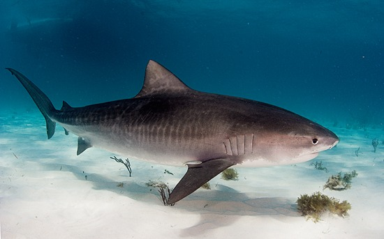 tiger shark stripes