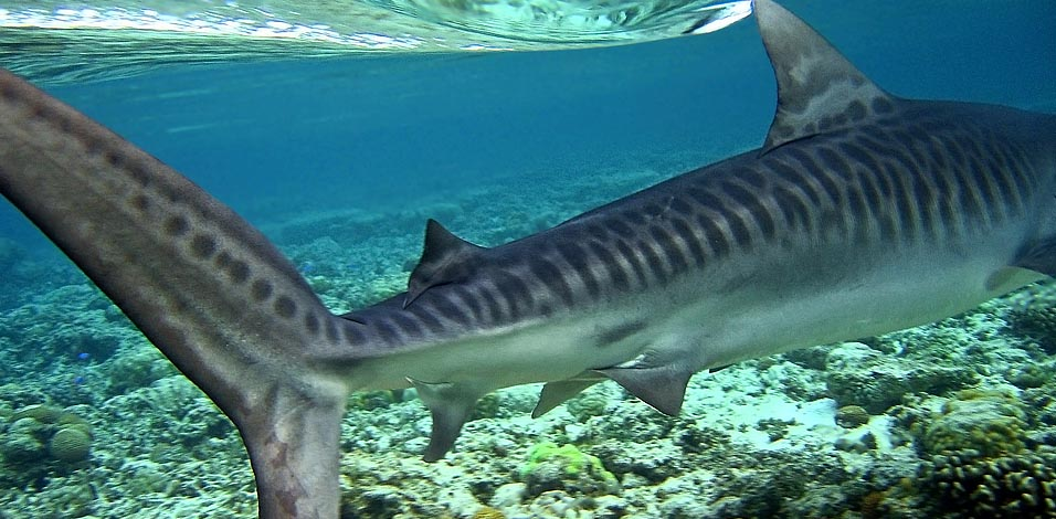 Tiger Shark Underwater