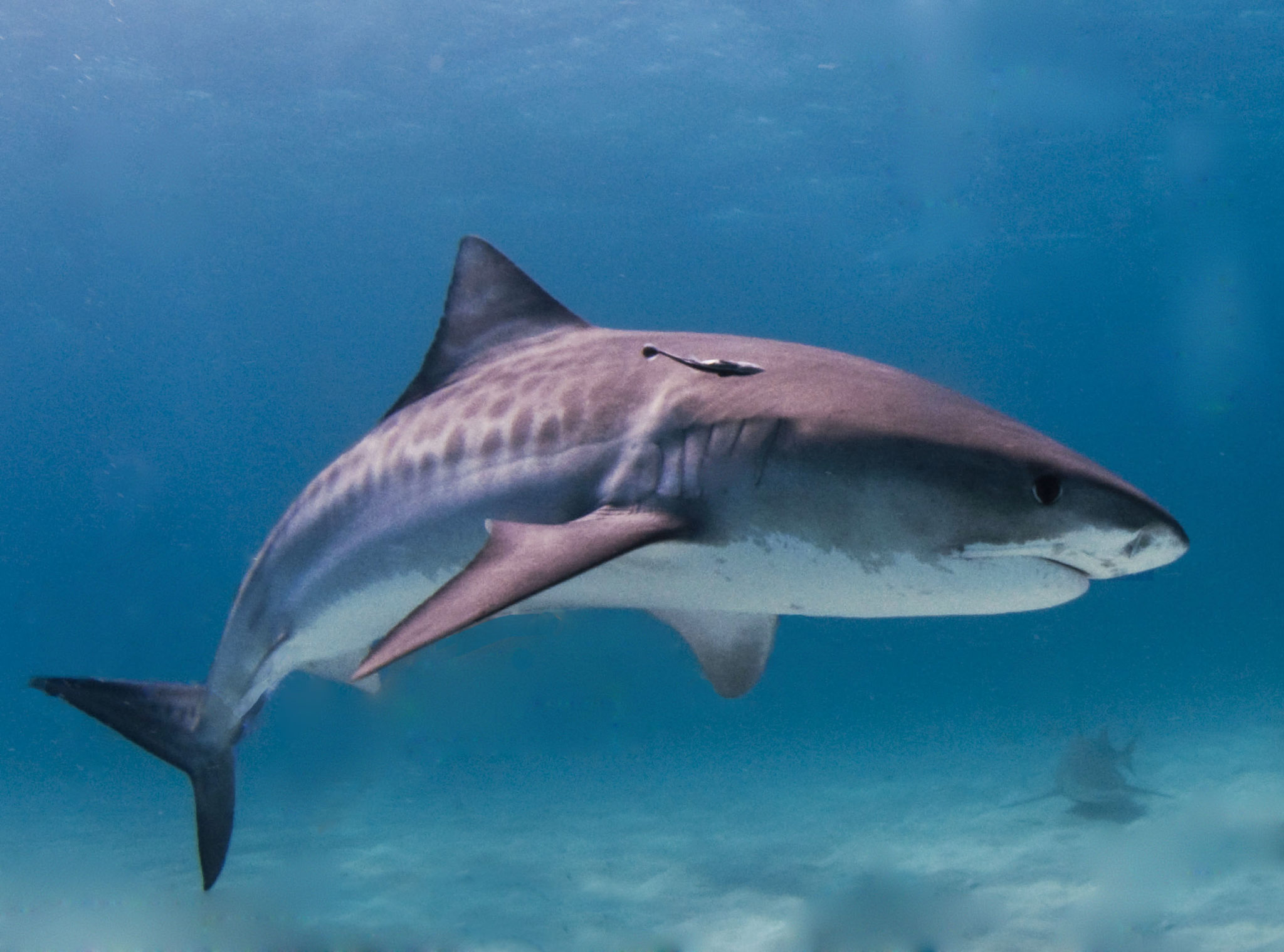 tiger shark wallpaper HD