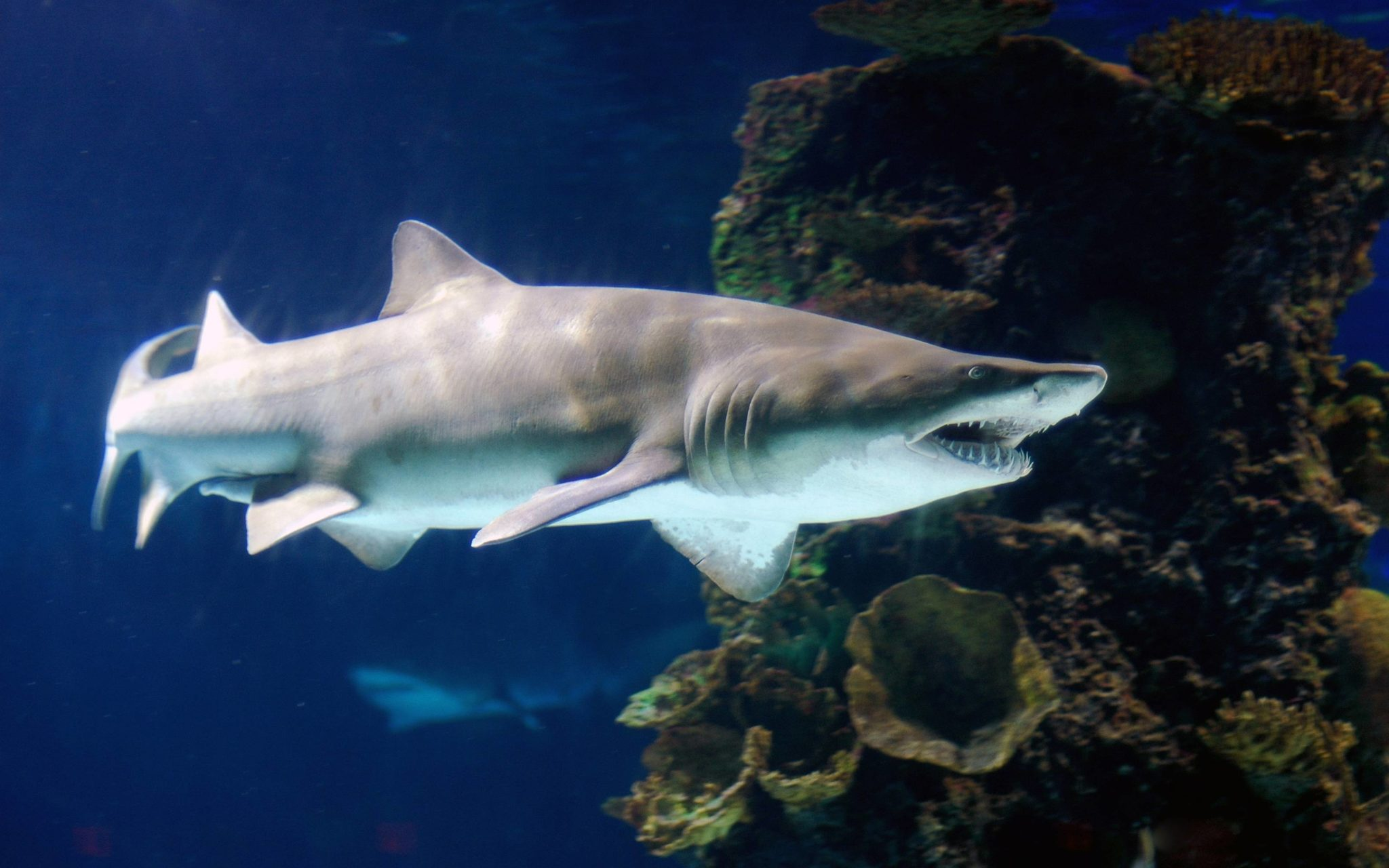 Fearsome tiger shark pictures
