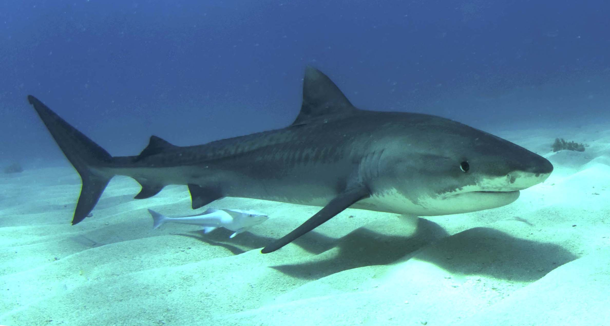 25 Tiger Shark Pictures and HD Wallpapers