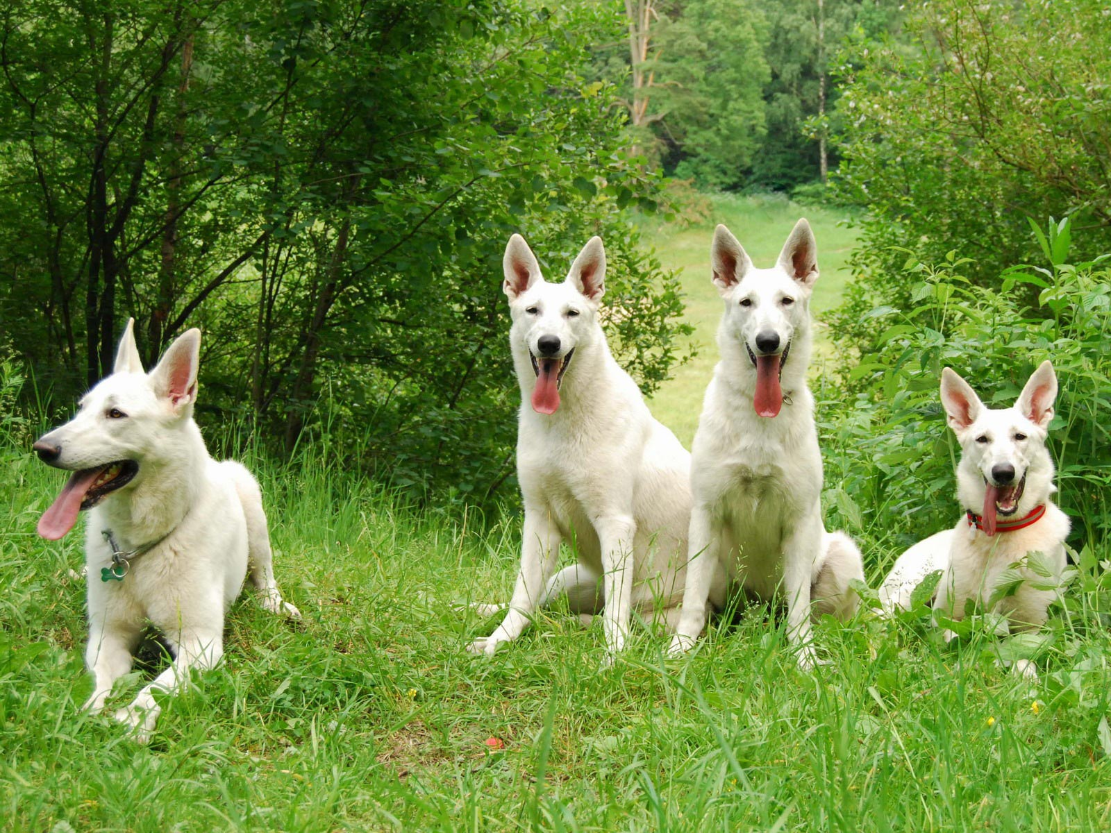 Berger Blanc Suisse dog pictures
