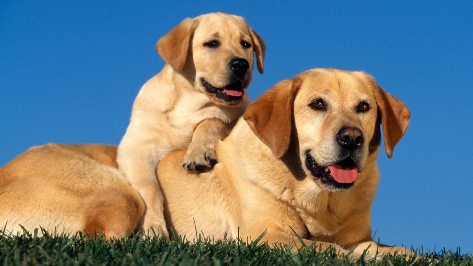 Labrador Retriever dogs pictures