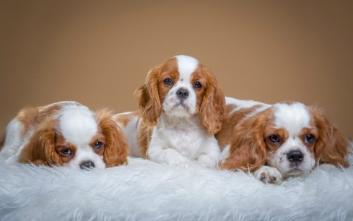 Spaniel dog pictures