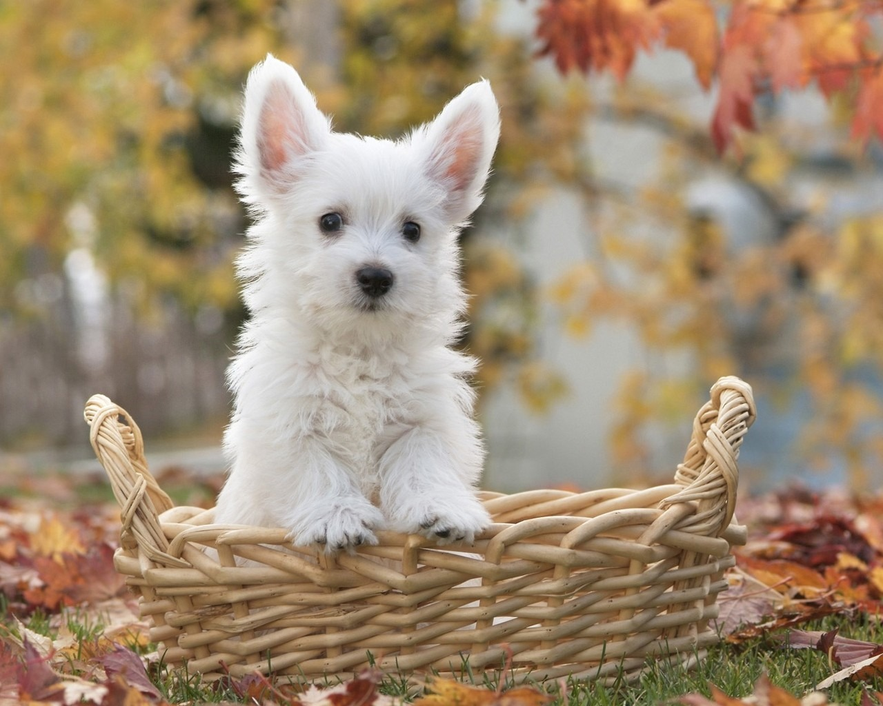 White terrier dogs pictures