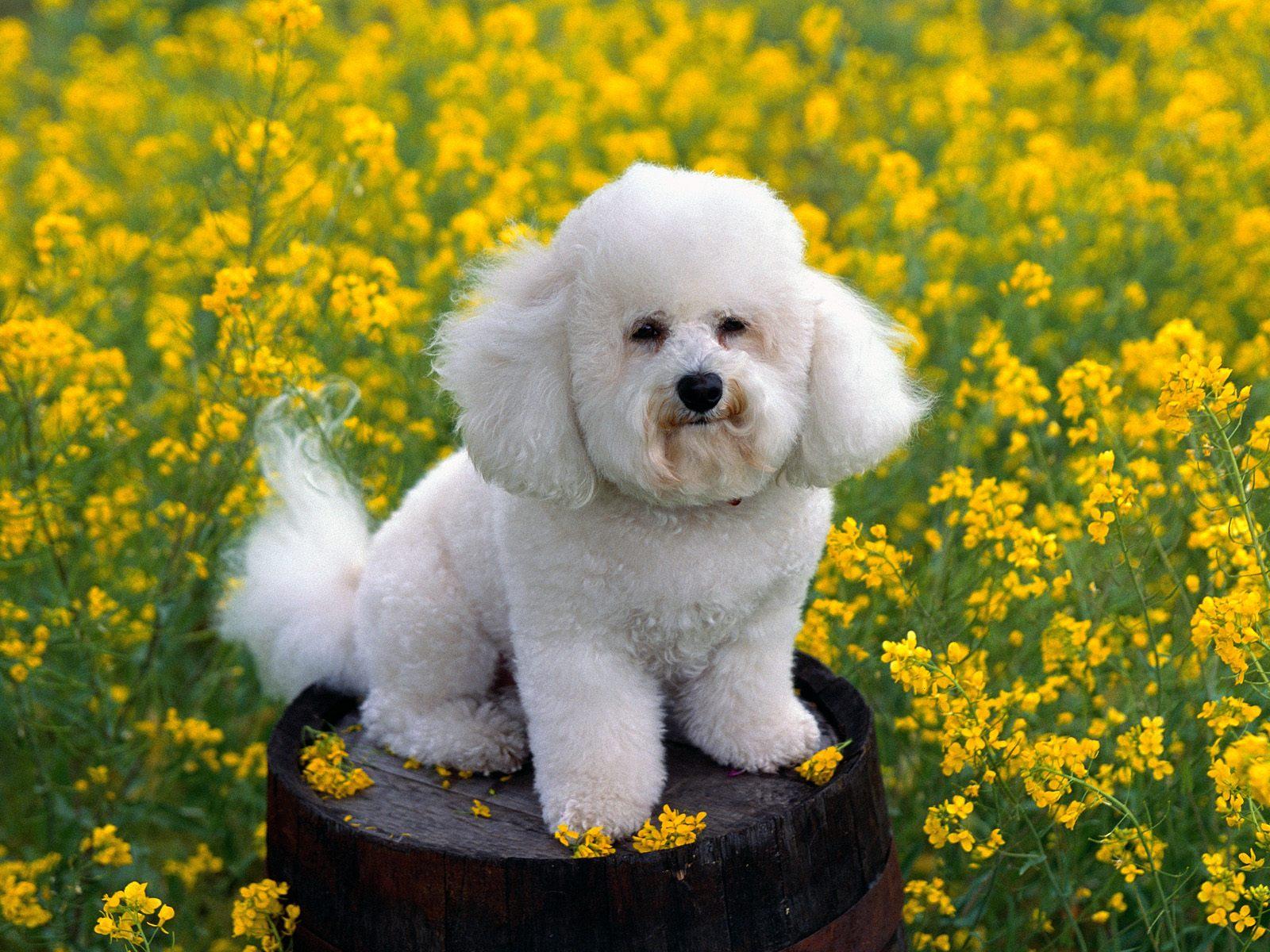 bichon frisé dogs pictures